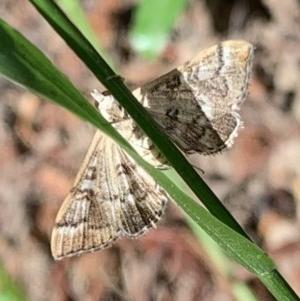 Nacoleia rhoeoalis at Murrumbateman, NSW - 28 Dec 2020