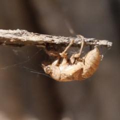 Psaltoda moerens (Redeye Cicada) at Lake Ginninderra - 26 Dec 2020 by Tammy