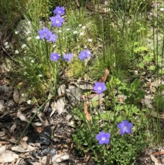 Wahlenbergia sp. (Bluebell) at Tennent, ACT - 27 Dec 2020 by JackyF