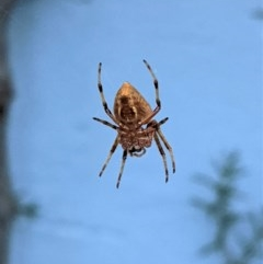 Eriophora transmarina (Garden orb weaver) at Hughes, ACT - 27 Dec 2020 by JackyF