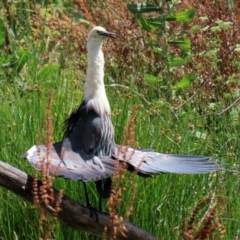 Ardea pacifica (White-necked Heron) at Fyshwick, ACT - 27 Dec 2020 by RodDeb