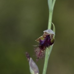 Calochilus platychilus (Purple beard orchid) at Penrose - 29 Dec 2020 by Aussiegall