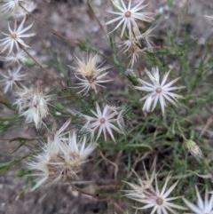 Vittadinia cuneata var. cuneata (Fuzzy New Holland Daisy) at Currawang, NSW - 28 Dec 2020 by camcols