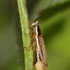 Balta bicolor (A balta cockroach) at ANBG - 18 Dec 2020 by TimL