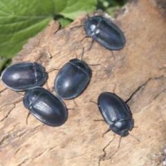 Pterohelaeus piceus (Pie-dish beetle) at Higgins, ACT - 27 Dec 2020 by AlisonMilton