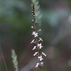 Unidentified Other Wildflower (TBC) at Tura Beach, NSW - 28 Dec 2020 by Kyliegw