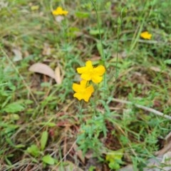 Hypericum gramineum (Small St Johns Wort) at Isaacs Ridge and Nearby - 29 Dec 2020 by Mike