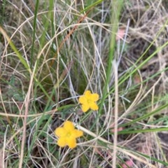 Hypericum gramineum (Small St Johns Wort) at Point 5438 - 29 Dec 2020 by Jenny54