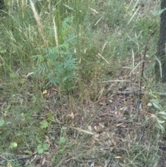 Austrostipa densiflora (Foxtail Speargrass) at Mount Majura - 28 Dec 2020 by abread111