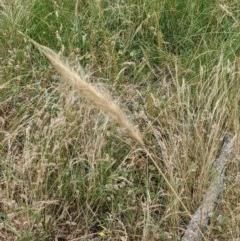 Dichelachne sp. (Plume Grasses) at Mount Majura - 29 Dec 2020 by abread111