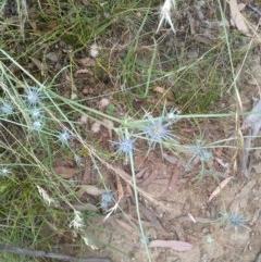Eryngium ovinum (Blue Devil) at Mount Majura - 29 Dec 2020 by abread111