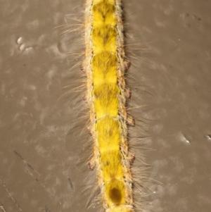 Lasiocampidae (family) immature at Acton, ACT - 29 Dec 2020