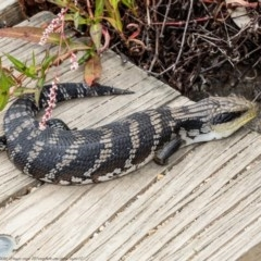 Tiliqua scincoides (Eastern Blue-tongue) at ANBG - 28 Dec 2020 by Roger