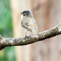 Unidentified Other - smaller than magpie (TBC) at Nullica State Forest - 23 Dec 2020 by Kyliegw