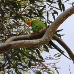 Polytelis swainsonii (Superb Parrot) at Point One - 29 Dec 2020 by LisaH