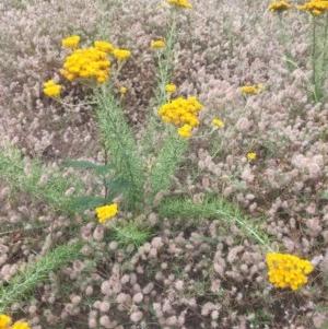 Chrysocephalum semipapposum at Peak View, NSW - 29 Dec 2020
