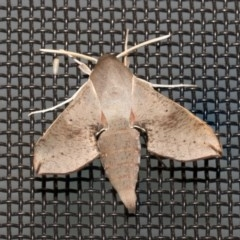 Hippotion scrofa (Coprosma Hawk Moth) at Higgins, ACT - 27 Dec 2020 by AlisonMilton