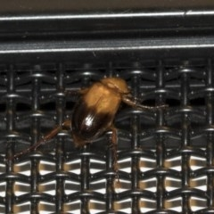 Phyllotocus macleayi (Nectar scarab) at Higgins, ACT - 27 Dec 2020 by AlisonMilton