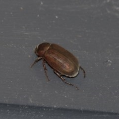 Sericesthis nigrolineata (Dusky pasture scarab) at Higgins, ACT - 27 Dec 2020 by AlisonMilton
