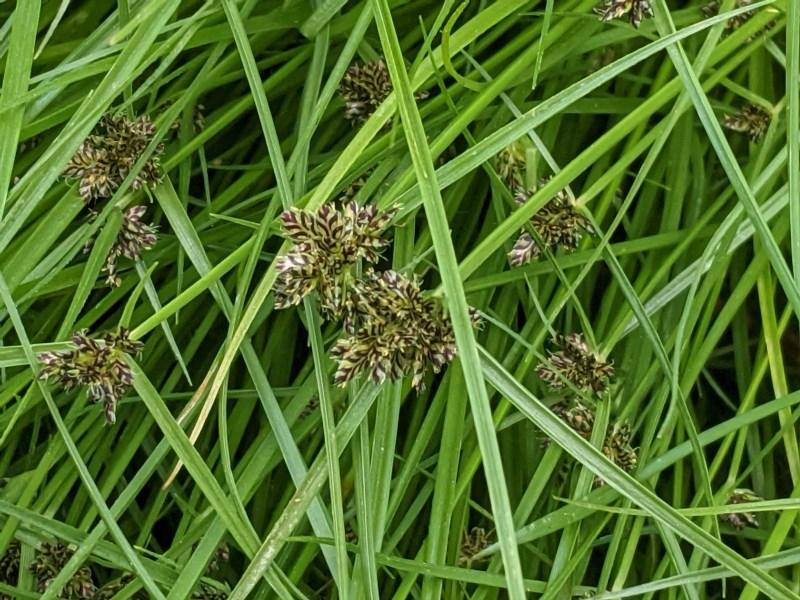 Cyperus sanguinolentus at Hughes Grassy Woodland - 28 Dec 2020