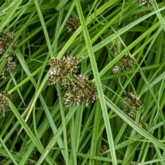 Cyperus sanguinolentus (A Sedge) at Hughes Grassy Woodland - 28 Dec 2020 by JackyF