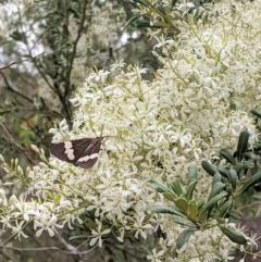 Bursaria spinosa subsp. lasiophylla (Australian Blackthorn) at Hughes Grassy Woodland - 28 Dec 2020 by JackyF