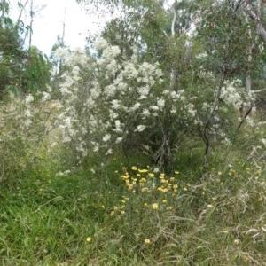 Bursaria spinosa subsp. lasiophylla at Hughes Grassy Woodland - 28 Dec 2020