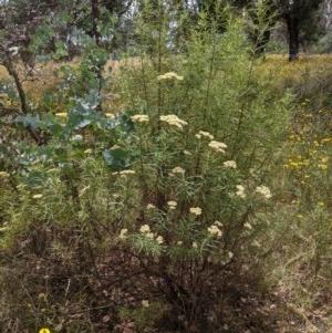 Cassinia longifolia at Hughes Grassy Woodland - 28 Dec 2020