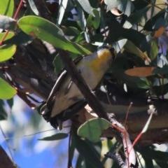 Pardalotus striatus (Striated Pardalote) at Black Mountain - 27 Dec 2020 by Rixon