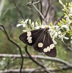Nyctemera amicus (Senecio or Magpie moth) at Hughes Grassy Woodland - 28 Dec 2020 by JackyF