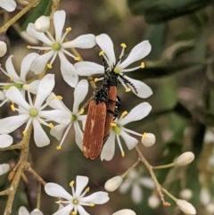 Porrostoma sp. (genus) (Lycid beetle, Net-winged beetle) at Hughes Grassy Woodland - 28 Dec 2020 by JackyF