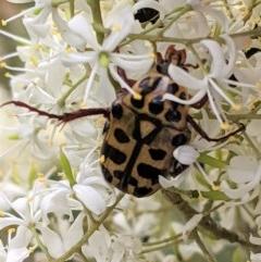 Neorrhina punctata (Spotted Flower Chafer) at Hughes Grassy Woodland - 28 Dec 2020 by JackyF