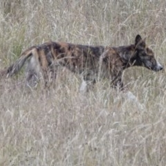 Canis lupus (Dingo / Wild Dog) at Tidbinbilla Nature Reserve - 29 Dec 2020 by WindyHen