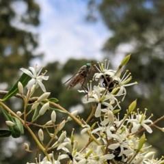 Scaptia sp. (genus) (March fly) at Hughes Grassy Woodland - 28 Dec 2020 by JackyF