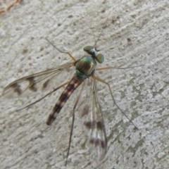 Heteropsilopus sp. (genus) (A long legged fly) at Black Mountain - 28 Dec 2020 by Christine