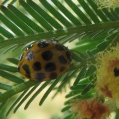Harmonia conformis (Common Spotted Ladybird) at Black Mountain - 28 Dec 2020 by Christine