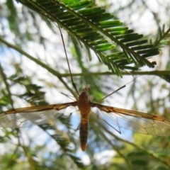 Leptotarsus (Leptotarsus) sp.(genus) (A Crane Fly) at Black Mountain - 28 Dec 2020 by Christine