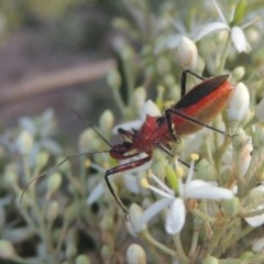 Gminatus australis (Orange Assassin Bug) at Conder, ACT - 26 Dec 2020 by michaelb