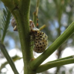 Dicranosterna immaculata (Acacia leaf beetle) at Black Mountain - 28 Dec 2020 by Christine
