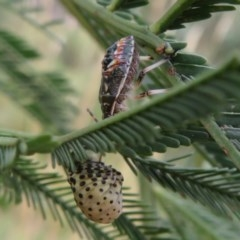 Pentatomidae (family) (Unidentified Shield or Stink bug) at Black Mountain - 28 Dec 2020 by Christine
