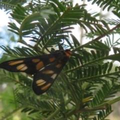 Amata (genus) (Handmaiden) at Black Mountain - 28 Dec 2020 by Christine