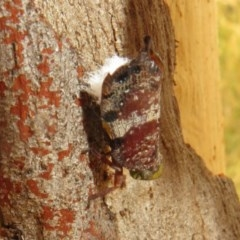Platybrachys decemmacula (Green-faced gum hopper) at Black Mountain - 28 Dec 2020 by Christine