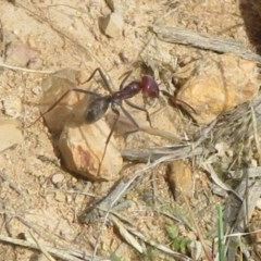 Iridomyrmex purpureus (Meat Ant) at Black Mountain - 28 Dec 2020 by Christine