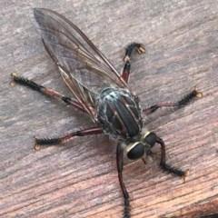 Neoaratus hercules (Robber fly) at Metung, VIC - 5 Dec 2020 by WindyHen