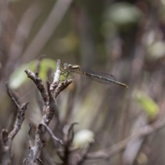 Unidentified Dragonfly (Anisoptera) (TBC) at Amaroo, ACT - 30 Dec 2020 by RichForshaw