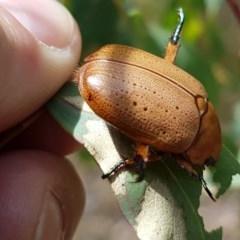 Anoplognathus pallidicollis (Cashew beetle) at Woodstock Nature Reserve - 30 Dec 2020 by tpreston