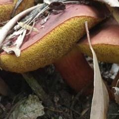 Boletellus obscurecoccineus (Rhubarb bolete) at Tidbinbilla Nature Reserve - 29 Dec 2020 by Rixon