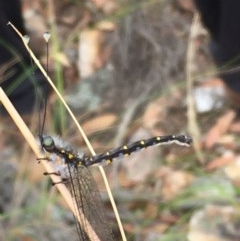 Ascalaphidae (family) (Owlfly) at Mulligans Flat - 29 Dec 2020 by Tapirlord