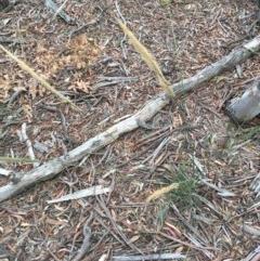 Austrostipa densiflora (Foxtail Speargrass) at Mulligans Flat - 30 Dec 2020 by Tapirlord