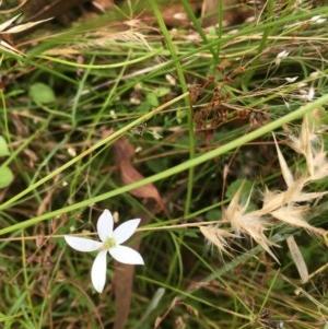 Isotoma fluviatilis subsp. australis at Mulligans Flat - 30 Dec 2020